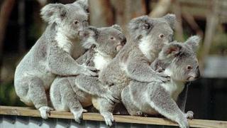 koala1416735c